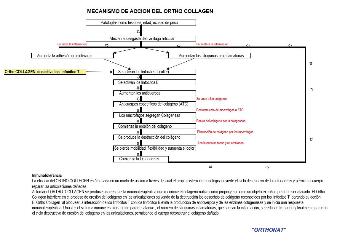 Mecanismo de Accion del Ortho Collagen
