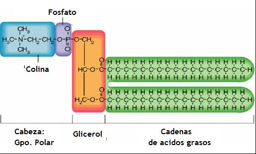 fosfolipido